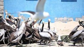 Pelikanen die voor Voedsel vechten stock videobeelden