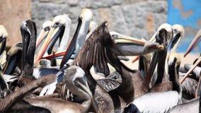 Pelikanen die voor Voedsel vechten stock footage