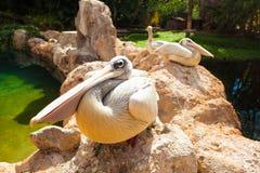 Pelikanen. Drie grote witte pelikanenstenen stock foto