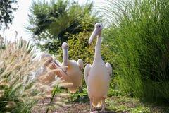 Pelikanen in een park Stock Foto