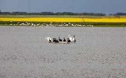 Pelikanen in een Vijver Stock Foto's