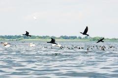 Pelikanen en aalscholverstroepen het vliegen Royalty-vrije Stock Afbeelding