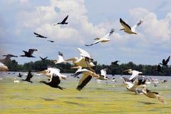 Pelikanen en cormorans het opstijgen in de Delta van Donau, Roemenië Royalty-vrije Stock Foto