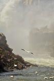 Pelikanen en Waterval Royalty-vrije Stock Afbeelding