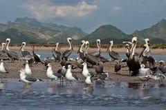 Pelikanen en zeemeeuwen op sandbar Royalty-vrije Stock Afbeelding