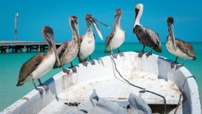Pelikanen het converseren Royalty-vrije Stock Foto