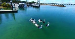 Pelikanen in het duidelijke water met rond vissen stock video