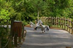 Pelikanen het lopen Stock Foto's