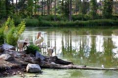 Pelikanen in het meer Royalty-vrije Stock Fotografie