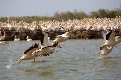 Pelikanen in het Nationale park Djoudj Stock Afbeeldingen