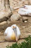 Pelikanen het rusten Stock Afbeeldingen