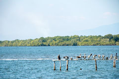 Pelikanen het verzorgen Stock Foto