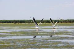 Pelikanen het vliegen Royalty-vrije Stock Foto