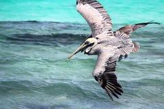 Pelikanen het vliegen Stock Afbeeldingen