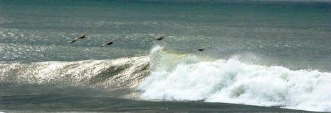 Pelikanen het Vliegen Royalty-vrije Stock Afbeeldingen