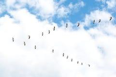 Pelikanen het Vliegen Vorming van pelikanen die voor voedsel vliegen Royalty-vrije Stock Fotografie