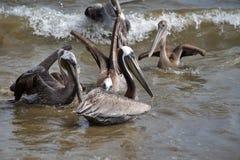 Pelikanen in het water stock afbeeldingen