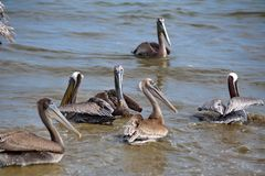 Pelikanen in het water stock fotografie