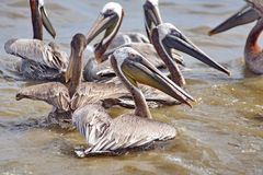 Pelikanen in het water stock foto