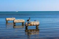 Pelikanen Key West Stock Foto's