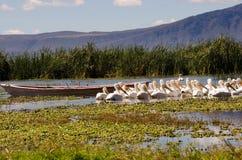 Pelikanen in moeras Stock Afbeelding