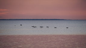 Pelikanen net na Zonsondergangst Josephs Baai Stock Fotografie