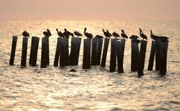 Pelikanen in oceaan bij zonsopgang Stock Foto