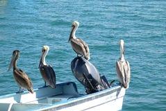 Pelikanen onbeweeglijk stock afbeeldingen