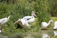 Pelikanen op een Eiland bij het Meer royalty-vrije stock afbeeldingen