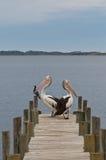 Pelikanen op een houtpier, het vastleggen Royalty-vrije Stock Afbeelding