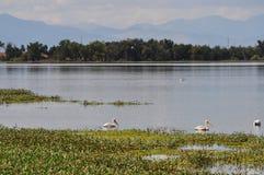 Pelikanen op een meer Stock Foto