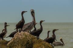 Pelikanen op een rots bij het overzees stock fotografie