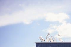 Pelikanen op een tindak Royalty-vrije Stock Afbeeldingen