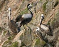 Pelikanen op eiland Stock Afbeeldingen