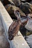 Pelikanen op het Dok Royalty-vrije Stock Afbeeldingen