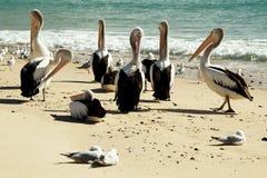 Pelikanen op het Strand Stock Foto