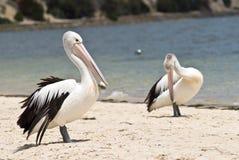Pelikanen op het strand Royalty-vrije Stock Afbeelding