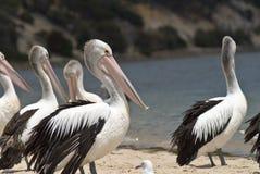 Pelikanen op het strand Stock Afbeelding
