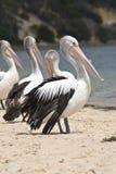 Pelikanen op het strand Royalty-vrije Stock Foto