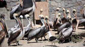 Pelikanen op het strand stock video
