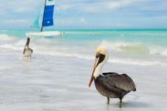 Pelikanen op het strand Varadero, Cuba royalty-vrije stock afbeelding