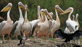 Pelikanen op Meer Naivasha Royalty-vrije Stock Foto's