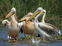 Pelikanen op Meer Naivasha Stock Fotografie