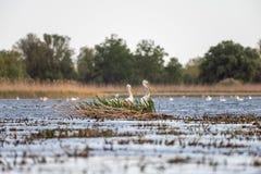Pelikanen op meer van in de Delta van Donau, het wild van Roemeni? vogelwaarneming stock afbeeldingen