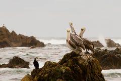 Pelikanen op rots Stock Afbeelding
