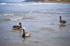 Pelikanen op strand Stock Foto's