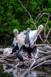 Pelikanen op takken hierboven - water Stock Fotografie