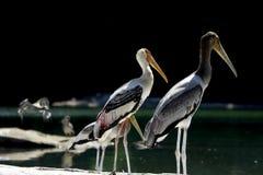 Pelikanen op Toppositie Royalty-vrije Stock Afbeeldingen