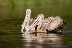 Pelikanen op water Zuid-Afrika stock fotografie