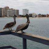 Pelikanen op zee Royalty-vrije Stock Afbeeldingen